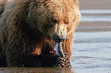 A Grizzly Bear (Ursus Arctos Horribilis) With A Fish In It's Claws, Alaska, United States Of America