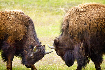 Two Male Bisons (Buffalo) Fighting At Yellowstone National Park, Wyoming, Usa