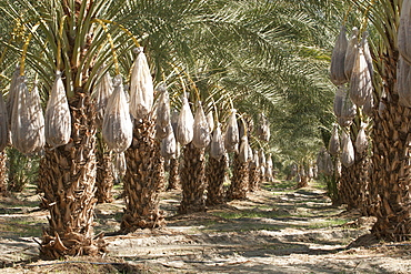 Rows Of Date Trees With Covered Sacks On Date Clusters, Palm Springs, California, United States of America