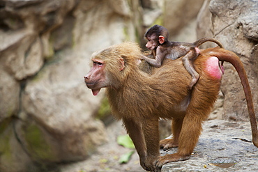 A Mother Baboon With Her Baby On Her Back At The Singapore Zoo, Singapore