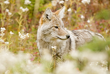Young Coyote (Canis Latrans) In A Forest, Alberta, Canada