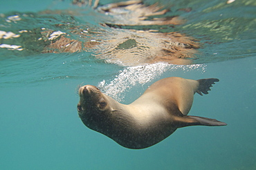 A Sea Lion Swimming Under The Water's Surface, Galapagos, Equador