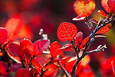 Autumn Colors On Tundra Foliage Near The Noatak River, Brooks Range, Alaska, United States Of America