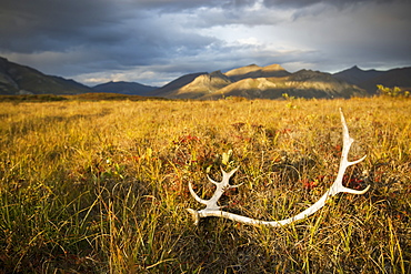 Antlers On The Grass In Brooks Range, Gates Of The Arctic National Park In Northwestern Alaska, Alaska, United States Of America