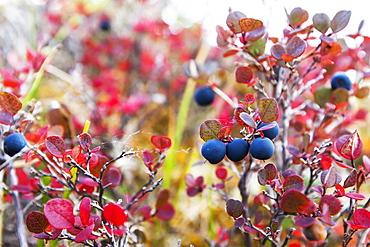 Lowbush Blueberry In Fall Colors Near The Noatak River, Brooks Range, Alaska, United States Of America