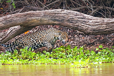 Female jaguar hunts along the pixiam river, Pantanal brazil