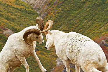 Dall's sheep (ovis dalli) rams hitting heads together during dominance display, butting heads, in autumn, denali national park, Alaska, united states of america