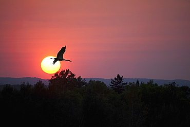 Canada goose (branta canadensis) flying through a sunset, Thunder bay, ontario, canada