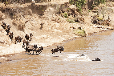 Migration of the wildebeest in the maasai mara national reserve, Maasai mara kenya