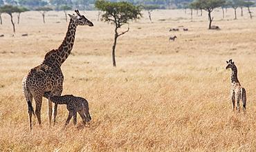 A giraffe (giraffa camelopardalis) with it's young in maasai mara national reserve, Maasai mara kenya