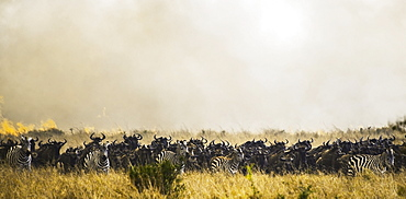 Zebras and wildebeest in the grass in the maasai mara national reserve, Maasai mara kenya