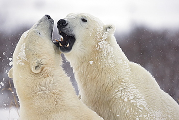 Polar bears (ursus maritimus) play fighting along the shores of hudson's bay, Churchill manitoba canada