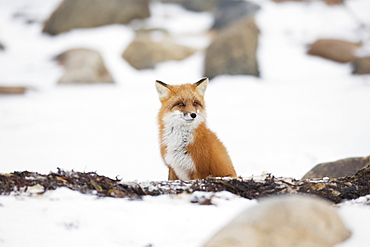 Red fox (vulpes vulpes) sitting in the snow, Churchill manitoba canada