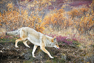 Coyote (canis latrans) hunts in autumn colors in denali national park, Alaska united states of america