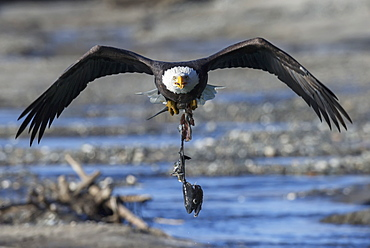 Bald eagle (haliaeetus leucocephalus) carrying an eaten salmon, Alaska united states of america