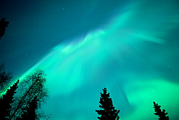 Northern Lights Over A Spruce Forest, Anchorage Alaska Usa