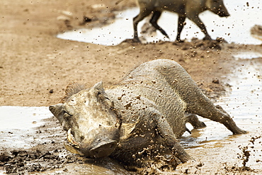 Warthogs (phacochoerus africanus) playing and splashing in mud at ngorongoro crater, Tanzania