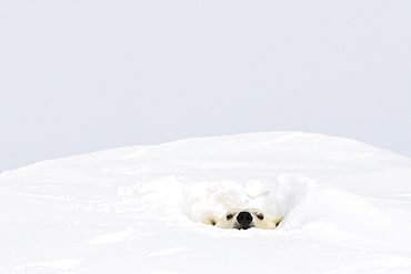 Polar bear (ursus maritimus) sticking it's head out of a den at wapusk national park, Manitoba canada