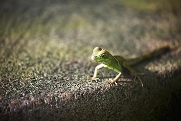 Close Up Of Small Lizard On Stone Surface, Frankfurt Am Main, Germany