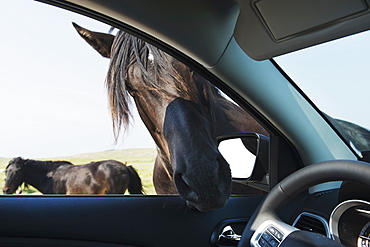 A Horse Puts It's Head Into An Open Car Window, Bonavista, Newfoundland And Labrador, Canada