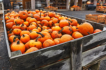 Pumpkins At A Pumpkin Farm, Eastern Townships, Quebec, Canada