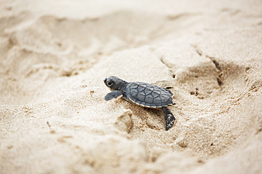 A Young Turtle Crawling Over The White Sand, Barbados
