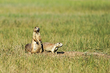 Black-Tail Prairie Dog (Cynomys Ludovicianus), Wind Cave National Park, South Dakota, United States Of America