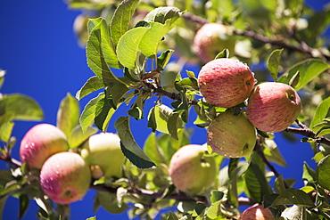 Apples Growing On A Tree Against A Deep Blue Sky, Calgary, Alberta, Canada