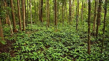 Jungle Floor, Sen Monorom, Mondulkiri, Cambodia
