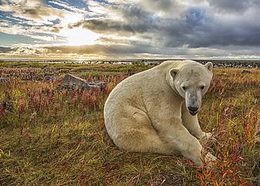 Polar Bear (Ursus Maritimus) Sitting In The Grass Along The Shorline Of Hudson Bay, Manitoba, Canada