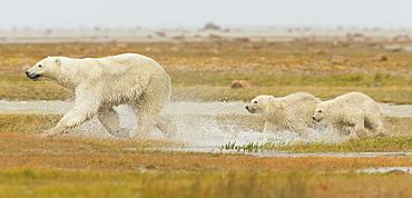 Mother Polar Bear (Ursus Maritimus) And Two Cubs Running Through The Water Along Hudson Bay, Manitoba, Canada