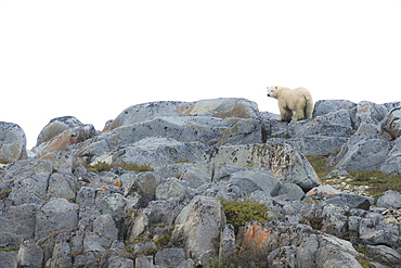 Polar Bear (Ursus Maritimus) Standing On The Smooth Rocks Along The Shores Of Hudson Bay, Manitoba, Canada