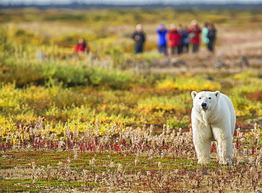 Polar Bear (Ursus Maritimus) Standing In Front Of A Group Of People Near Seal River Lodge On The Shore Of Hudson Bay, Manitoba, Canada