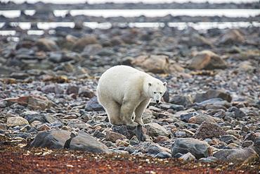 Polar Bear (Ursus Maritimus) Standing On A Rock Along The Shoreline Of Hudson Bay, Manitoba, Canada
