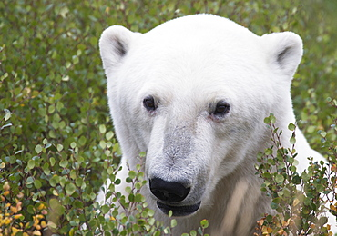 Large Male Polar Bear (Ursus Maritimus) Sitting In The Willow Bushes Near Churchill, Manitoba, Canada