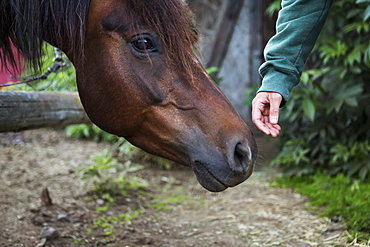 A Hand Reaching To Touch The Nose Of A Horse, Halibut Cove, Kachemak Bay, Kenai Peninsula, Alaska, United States Of America