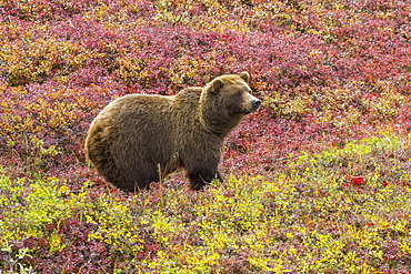 Close Up Of A Grizzly Bear (Ursus Arctos Horribilis) Standing In Colorful Red Blueberry Bushes In Autumn, Denali National Park, Alaska, United States Of America
