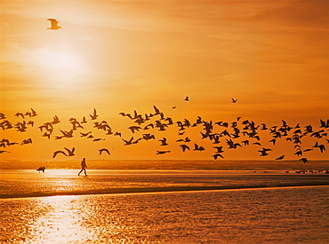A Flock Of Birds Fly Over The Beach And Ocean As The Sun Sets At Siltcoos Beach, Florence, Oregon, United States Of America