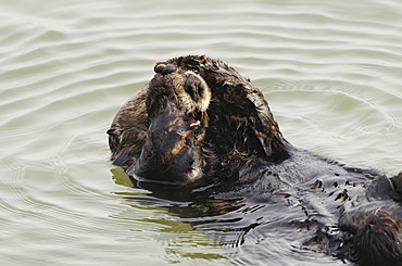 Sea Otter (Enhydra Lutris) Grooming Fur, Moss Landing, Monterey Bay, California, United States Of America