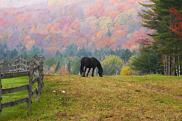 Horse Grazing In Early Morning Light And Fog In Autumn, Iron Hill, Quebec, Canada