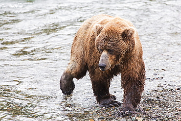 Grizzly Bear (Ursus Arctos) Fishing For Sockeye Salmon At Brooks Falls In Katmai National Park & Preserve, Southwest Alaska, Alaska, United States Of America
