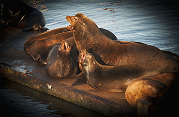 California Sea Lions (Zalophus Californianus) Haul Out In The Harbour, Astoria, Oregon, United States Of America