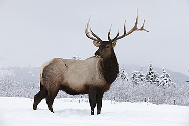 An Elk (Cervus Canadensis) Standing In A Field Of Snow With Frozen Trees In The Background