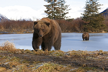 Two Brown Bears Walk Across A Frozen Lake In Winter