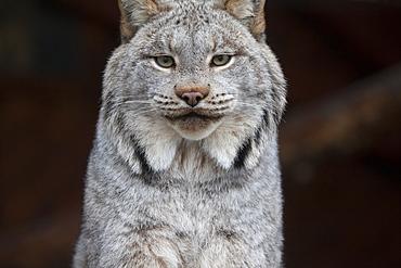 A Grey Lynx Staring At The Camera