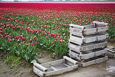 Muddy Crates In Front Of Colourful Fields Of Tulips, La Conner, Washington, United States Of America