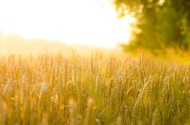 Close Up Of Corn Field In The Early Morning, Near The Cotswold Village Of Lower Slaughter, Gloucestershire, England