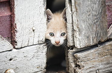 Kitten Peeking Through Barn Doors, Steinbach, Manitoba, Canada