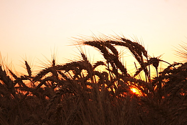 Agriculture - Mature harvest stage soft red winter wheat in late Spring at sunset / Eastern Arkansas, USA.