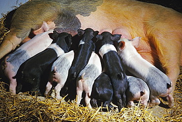 Livestock - Piglets suckling a sow pig on a hog farm / near Vermilion, Minnesota, USA.